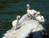 Pelican Trio Preening