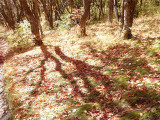 Maple Forest Tracings