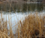 Cattail Thicket along Snake River