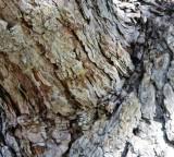 Bark Texture on Elm Tree