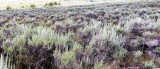 A Sea of Sagebrush