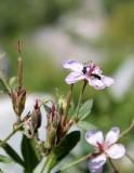 Sticky Purple Geranium...with Visitors