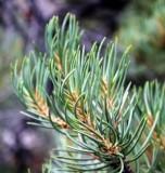 Singleleaf Pinyon Pine
