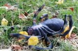 Capsized Arachnid