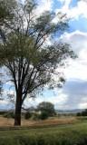 Elm at Swore Farm