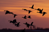 ducks 042213_MG_9531