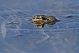 wood frog 050513_MG_3494