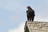 turkey vulture 081813_MG_9172