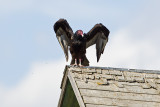 turkey vulture 081813_MG_9181
