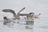 california gulls 091513_MG_4864