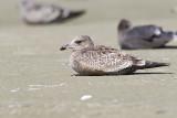 california gull 091613_MG_5817