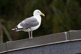 western gull 091513_MG_5279