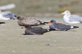 heermann's gulls 091613_MG_5594