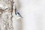 white-breasted nuthatch 122714_MG_0945