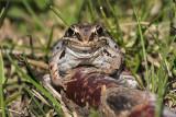 wood frog 051015_MG_2656