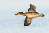 green-winged teal 082315_MG_2414