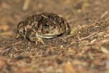 boreal toad 082915_MG_2751