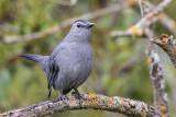 Mimics, Thrashers, & Starlings