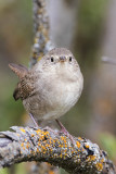 Wrens & Dippers