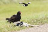 turkey vulture 091116_MG_8862