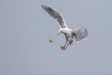 glaucous-winged gull 091616_MG_1586