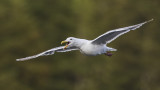 glaucous-winged gull 091716_MG_3291