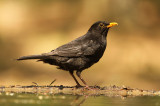 Merel - Blackbird (with unusual upper bill)