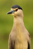 Kwak - Night Heron