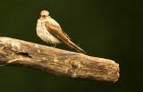Grauwe Vliegenvanger - Spotted Flycatcher