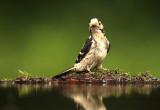 Kleine Bonte Specht - Lesser Spotted Woodpecker