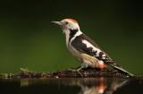 Middelste Bonte Specht - Middle Spotted Woodpecker