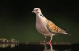 Tortel - Turtle Dove