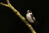 Withalsvliegenvanger - Collared Flycatcher