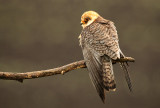 Roodpootvalk - Red-footed Falcon