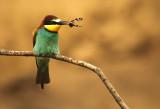 Bijeneter - Bee-eater