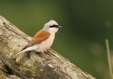 Grauwe Klauwier - Red-backed Shrike