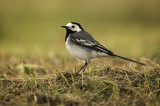 Witte Kwikstaart - White Wagtail