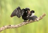 Dwergaalscholver - Pygmy Cormorant