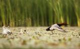 Tafeleend - Common Pochard
