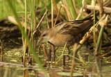 Klein Waterhoen - Little Crake (female)