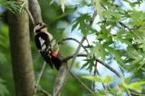 Syrische Bonte Specht - Syrian Woodpecker