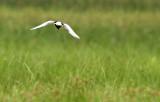 Witvleugelstern - White-winged Black Tern