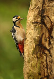 Grote Bonte Specht - Great Spotted Woodpecker