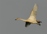 Kleine Zwaan - Bewick's Swan