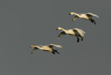 Flight of the Bewick's Swans