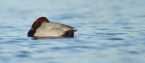 Tafeleend - Common Pochard