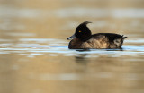 Kuifeend - Tufted Duck