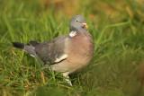 Houtduif - Wood Pigeon