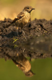Stonechat - Roodborsttapuit