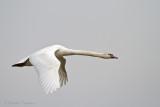 Swans - Zwanen